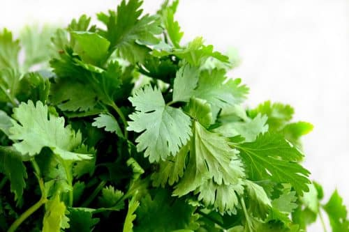 cilantro leaves